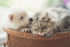Cute siberian husky and persian cat lying. In basket bed Stock Photos