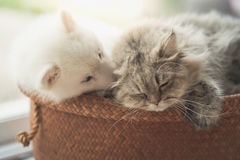Cute siberian husky and persian cat lying. In basket bed Royalty Free Stock Photo