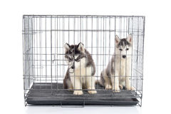Cute siberian husky puppies in the cage on white background,isol Stock Photo