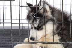 Cute siberian husky puppies in the cage on white background,isol Stock Photography
