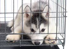 Cute siberian husky puppies in the cage on white background,isol Stock Image
