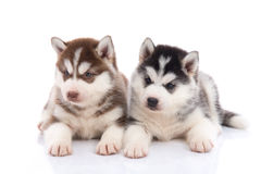 Cute siberian husky puppies lying Stock Images