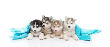 Cute siberian husky puppies lying Royalty Free Stock Photos