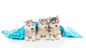 Cute siberian husky puppies lying Royalty Free Stock Photo