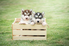 Cute Siberian Husky Puppies Paying In Wooden Crate Royalty Free Stock Photos
