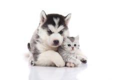 Cute siberian husky puppy cuddling cute kitten stock photos