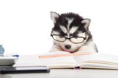 Cute siberian husky puppy in glasses working Stock Images