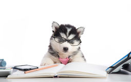 Cute siberian husky puppy in glasses working Royalty Free Stock Photo
