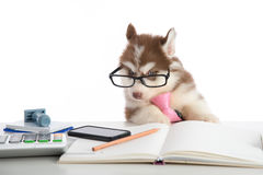 Cute siberian husky puppy in glasses working Stock Photo