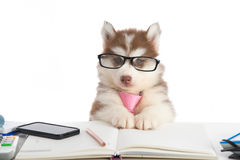 Cute siberian husky puppy in glasses working Royalty Free Stock Photos