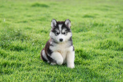 Cute siberian husky puppy. On grass Royalty Free Stock Image