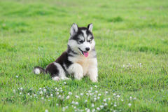 Cute siberian husky puppy. On grass Royalty Free Stock Photo