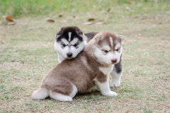 Cute siberian husky puppy on green grass Royalty Free Stock Photo