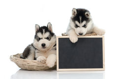 Cute siberian husky puppy holding chalk board  isolated Stock Photos