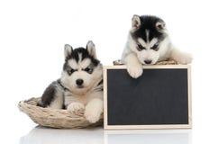 Cute siberian husky puppy holding chalk board  isolated Stock Photos