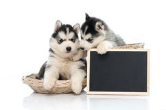 Cute siberian husky puppy holding chalk board  isolated Royalty Free Stock Photography