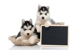 Cute siberian husky puppy holding chalk board  isolated Stock Photo