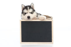 Cute siberian husky puppy holding chalk board  isolated Stock Image