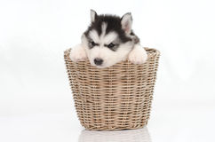 Cute siberian husky puppy inside basket Royalty Free Stock Image