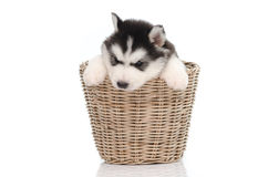 Cute siberian husky puppy inside basket Royalty Free Stock Images