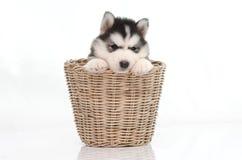 Cute siberian husky puppy inside basket Stock Photos