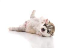 Cute siberian husky puppy lying Royalty Free Stock Photo