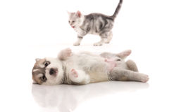 Cute siberian husky puppy lying Stock Photography