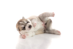 Cute siberian husky puppy lying Royalty Free Stock Photography