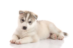 Cute siberian husky puppy lying on white background Royalty Free Stock Image