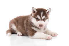 Cute siberian husky puppy lying Royalty Free Stock Image