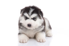 Cute siberian husky puppy lying Royalty Free Stock Images