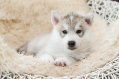 Cute siberian husky puppy lying Royalty Free Stock Photos