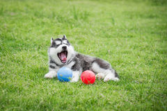 Cute siberian husky puppy playing ball Stock Photography