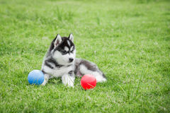 Cute siberian husky puppy playing ball Stock Images