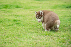 Cute siberian husky puppy pooping on green grass Stock Photo