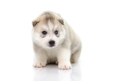 Cute siberian husky puppy sitting on white background Royalty Free Stock Images