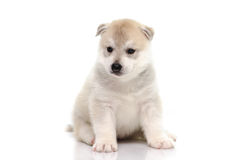 Cute siberian husky puppy sitting on white background Stock Photo