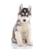 Cute siberian husky puppy sitting stock photo