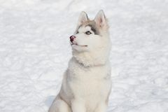 Cute siberian husky puppy is sitting on the white snow. Three month old. Pet animals royalty free stock image