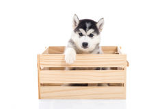 Cute Siberian husky puppy sitting in a wooden crate o Royalty Free Stock Image