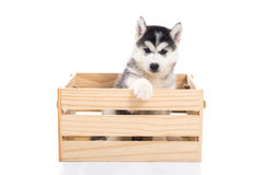 Cute Siberian husky puppy sitting in a wooden crate o Stock Photo