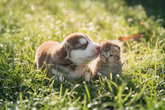 Cute siberian husky puppy and tabby kitten lying Royalty Free Stock Image