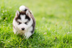 Cute siberian husky puppy walking on green grass Royalty Free Stock Image