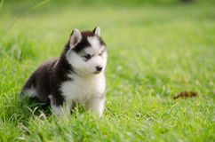 Cute siberian husky puppy walking on green grass Royalty Free Stock Images