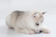 Cute siberian husky puppy. On white background Royalty Free Stock Image