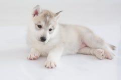 Cute siberian husky puppy. On white background Stock Photos