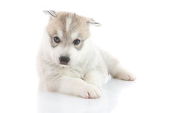 Cute siberian husky puppy. On white background Stock Image