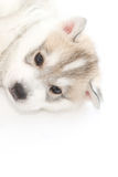 Cute siberian husky puppy. On white background Stock Images