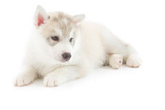 Cute siberian husky puppy. On white background Royalty Free Stock Photography