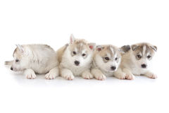 Cute siberian husky puppy. On white background Stock Photography